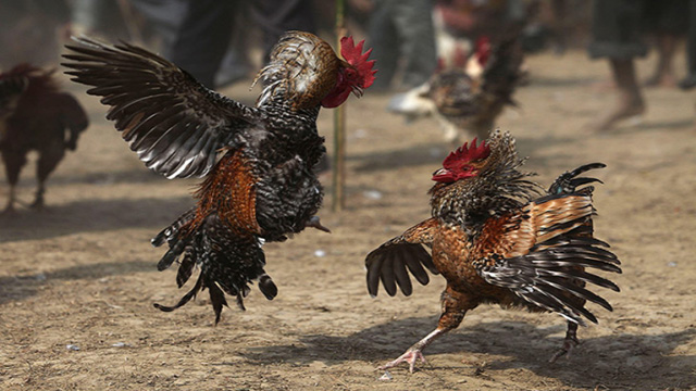 Judi Sabung Ayam Android