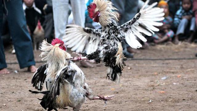 Situs Judi Sabung Ayam Online Resmi Deposit Termurah