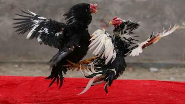 Adu Ayam S128 Terbaik 2019